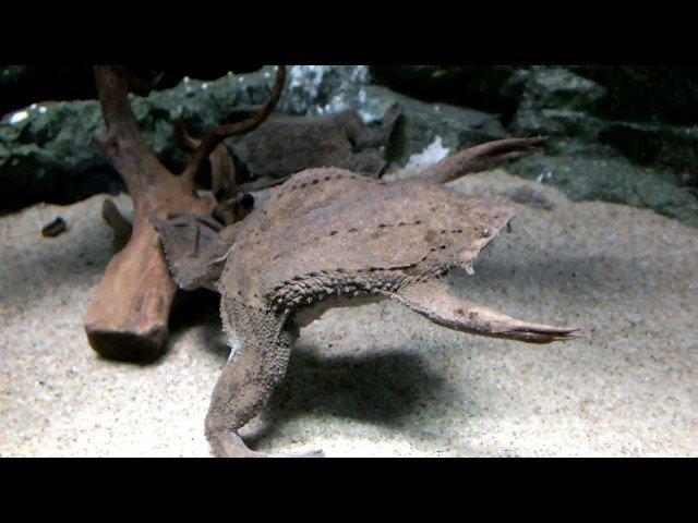 фото жабы пипы