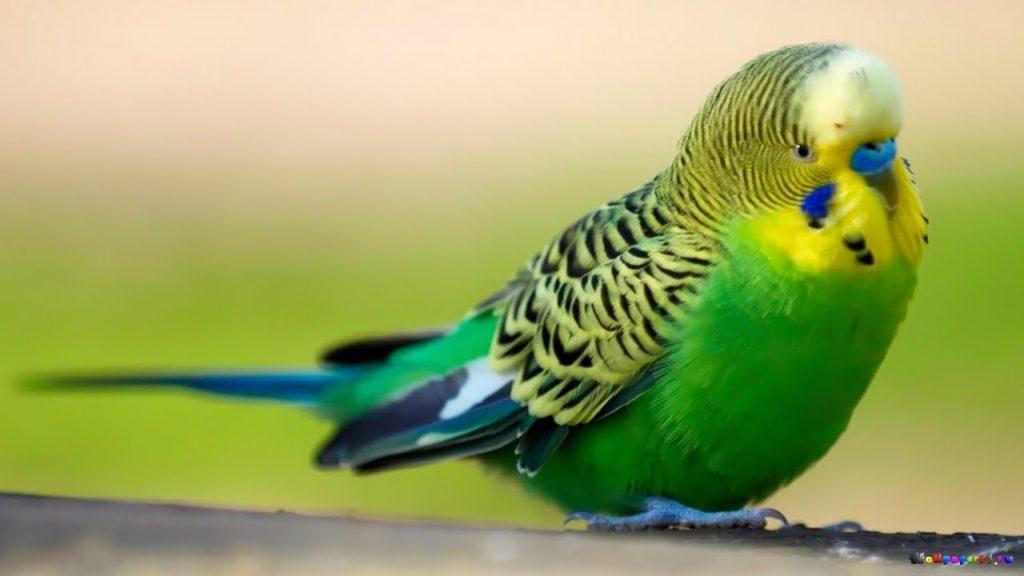 говорящие попугаи, обучение