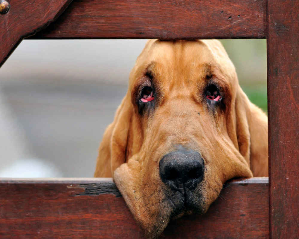 https://petsi.net/images/dogphotos/dogs-bloodhound.jpg