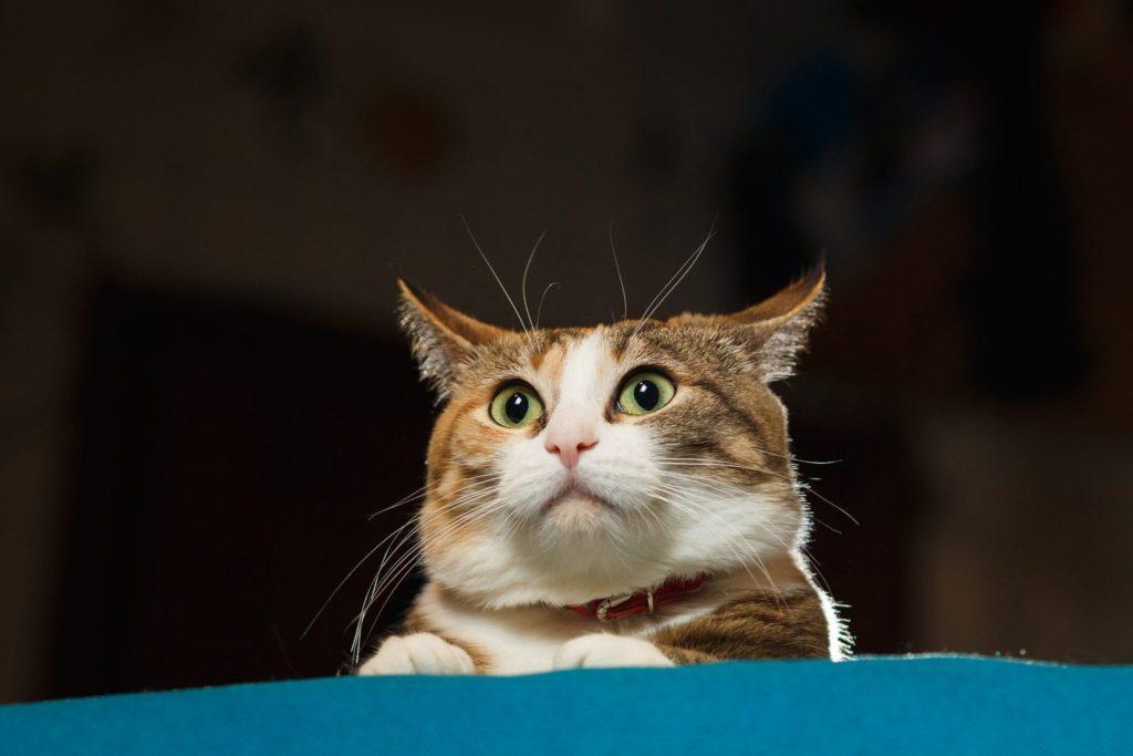 Язык кошек. Кошачий язык - переводчик. Мяуканье кошки