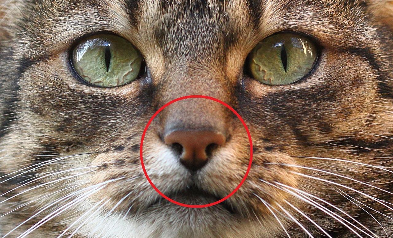 Почему у кошек мокрый нос — пояснение ветеринара