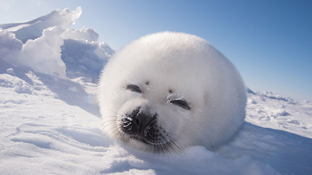 лет, фото гренландского тюленя написанием иллюстрации рукописного