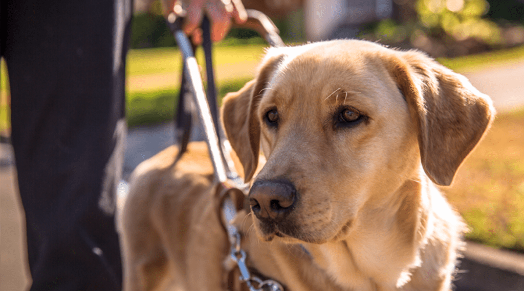 Получение Собаки-поводыря 4lapki.com