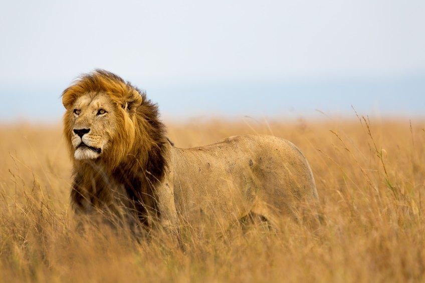 Lion in field