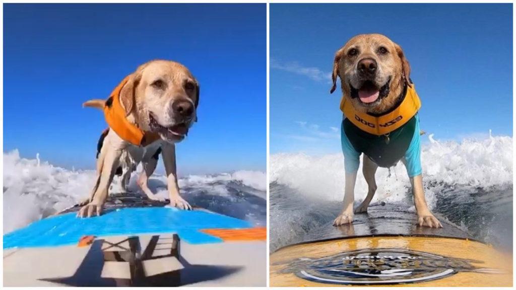 История о псе Чарли, который обожает серфинг