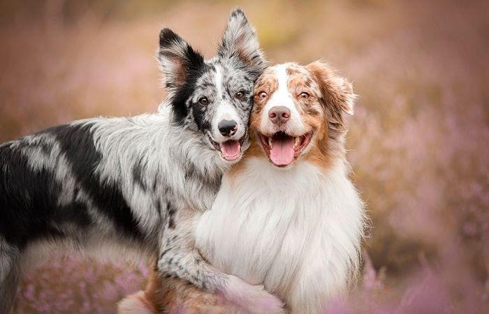 пастушья собака порода бордер колли фото