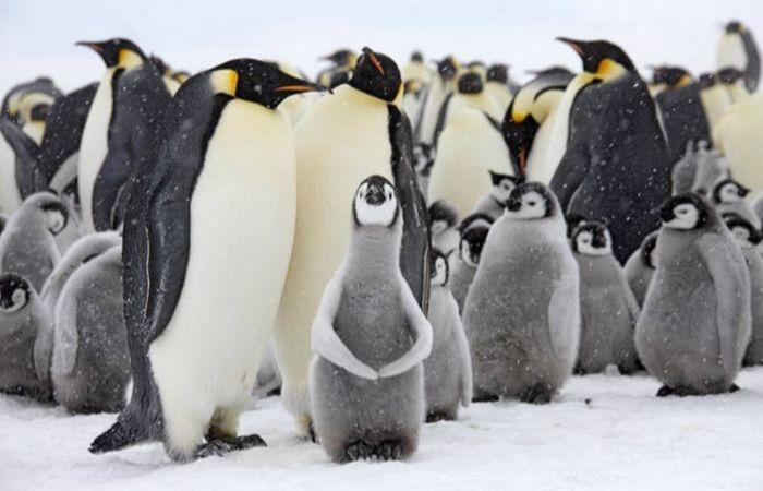 пингвины с детенышами