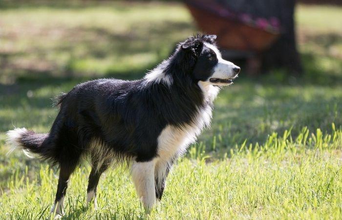 порода собак бордер колли фото