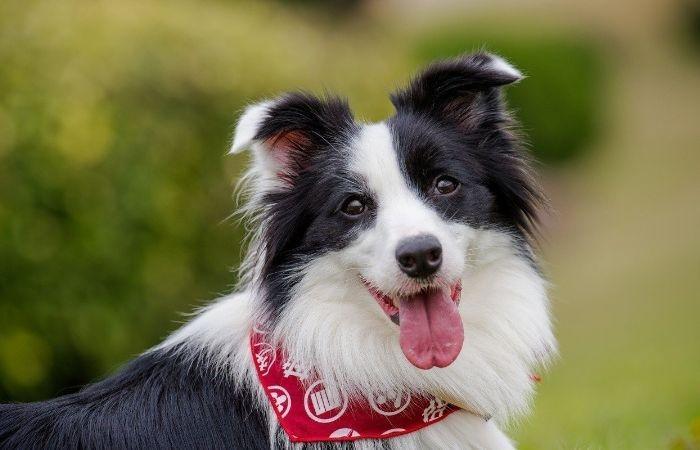 порода собак бордер колли цена
