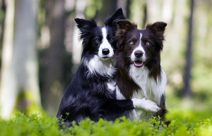 собака бордер колли щенок