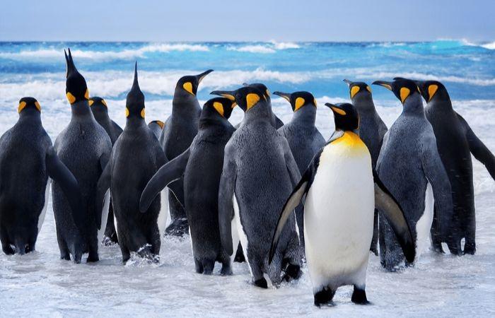 стая пингвинов