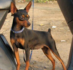 Собака Карликовый пинчер (цвергпинчер): описание породы, фото ... | 289x300