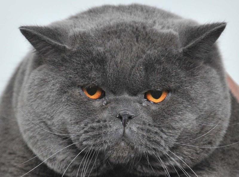 Британская короткошерстная кошка: О породе - Породы кошек - CATS ... | 593x800