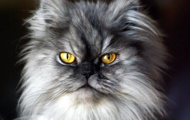Сколько живут персидские кошки в домашних условиях 919