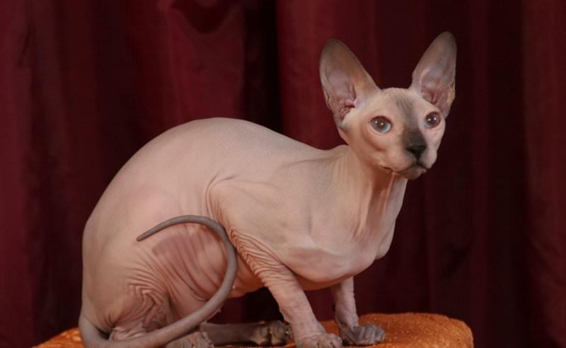 кот сфинкс фото
