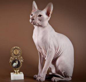 лысая кошка фото