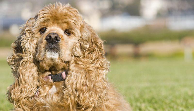 спаниель фото собаки