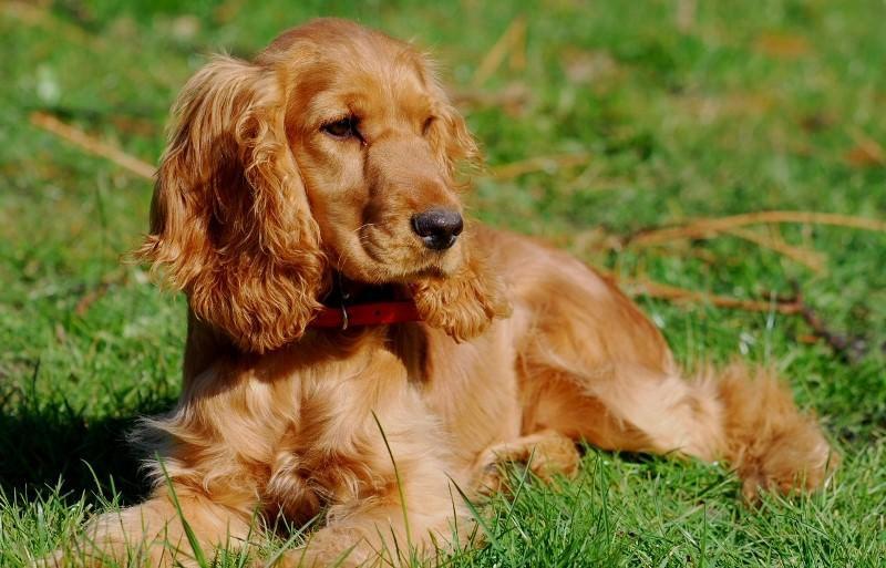 спаниель собака фото