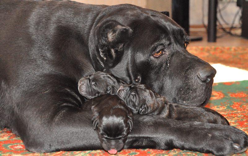 кане корсо собака с щенками фото