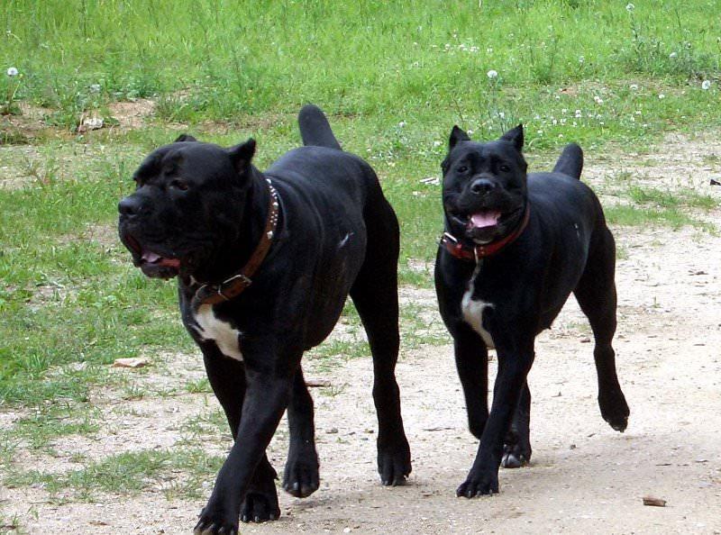 кане корсо собаки фото