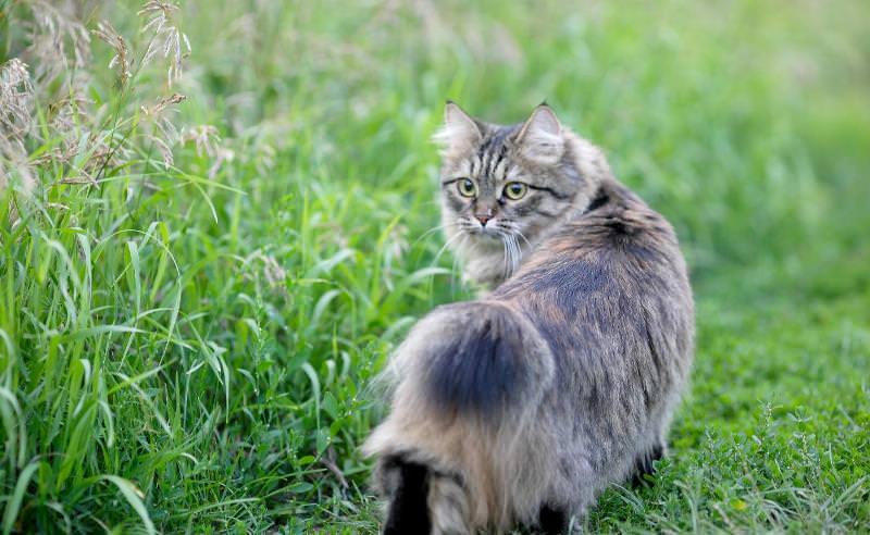 бобтейл кошка фото