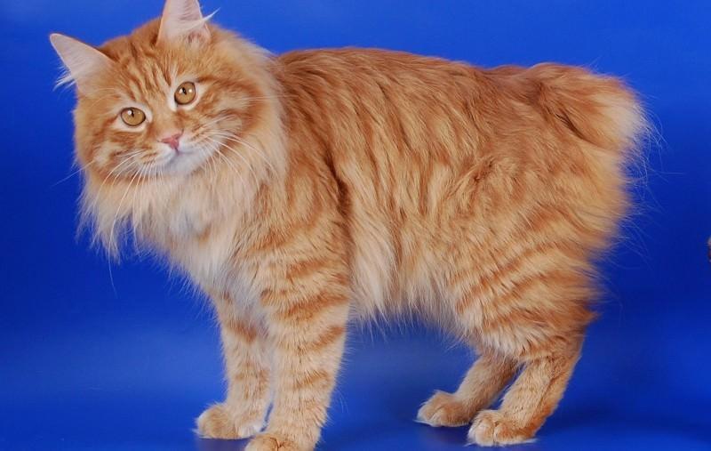 бобтейл фото кота