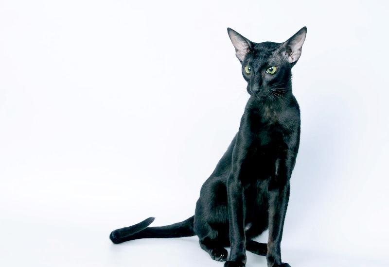 ориентальные кошки фото