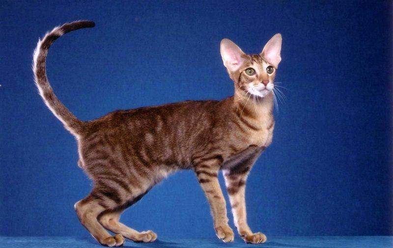 ориентал кошка фото