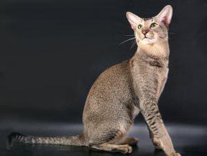 порода кошек ориентал фото