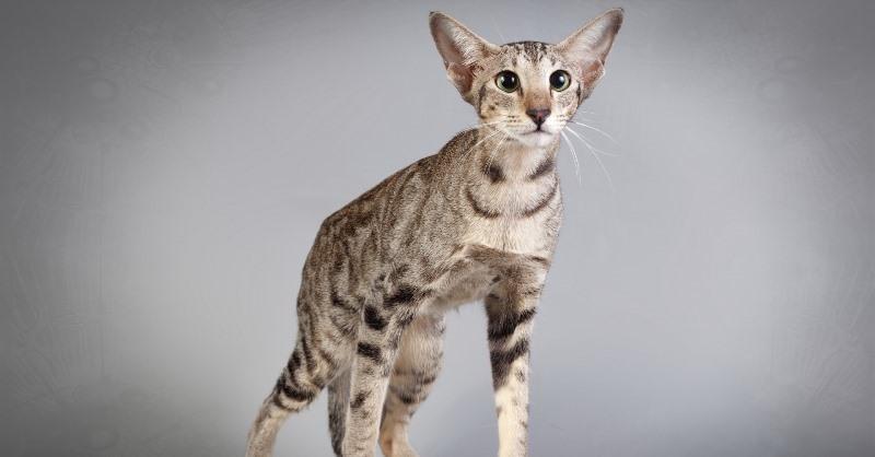 коты ориенталы фото
