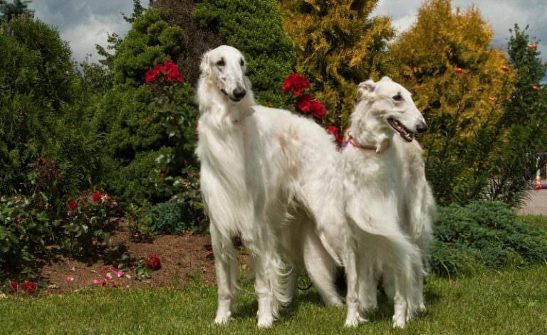 Топ-10 самых красивых пород собак в мире - youtube
