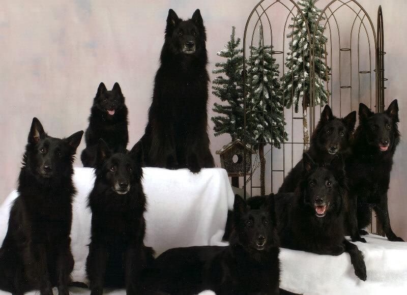 шипперке собаки фото
