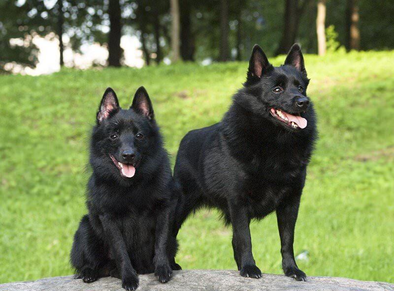 собаки схиперке фото