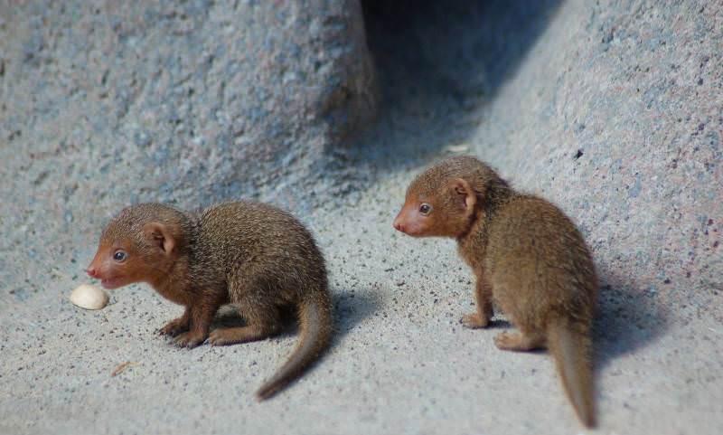 Детеныши мангуста фото
