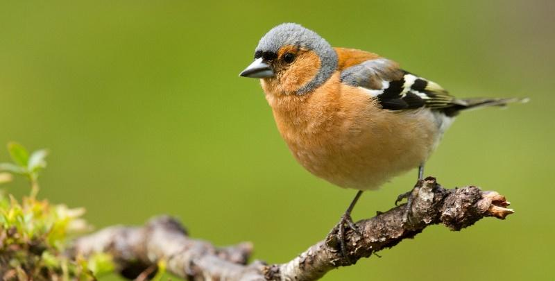зяблик птица фото