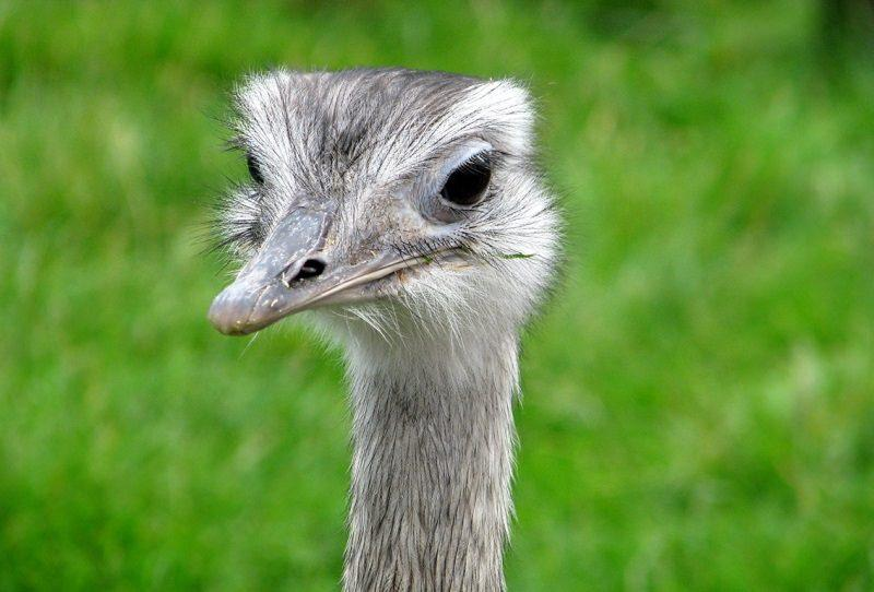 Птица нанду фото