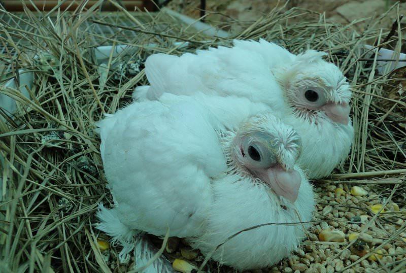 птенцы голубя фото
