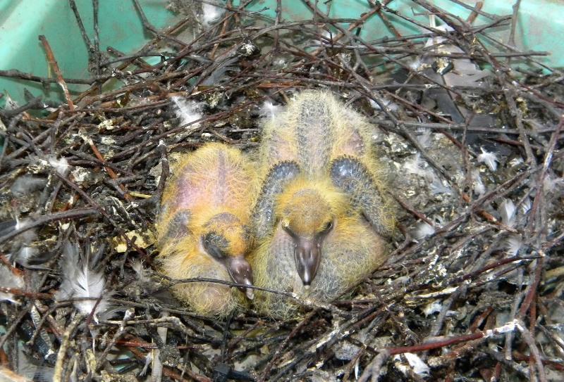 Птенцы голубя в гнезде фото