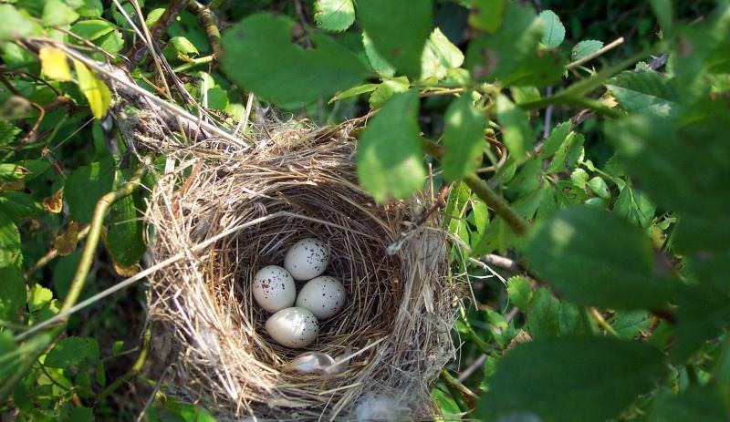Голубиные гнезда фото