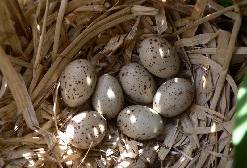 Голубиные яйца фото