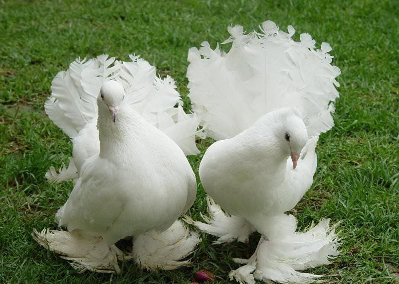 как размножаются голуби фото