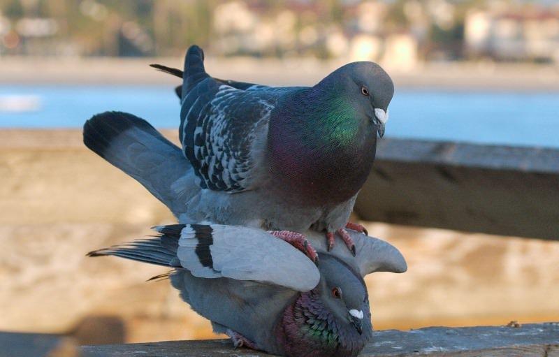 как спариваются птицы фото