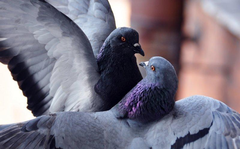 Размножение голубей фото