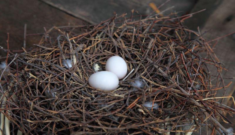 Голубиное гнездо фото