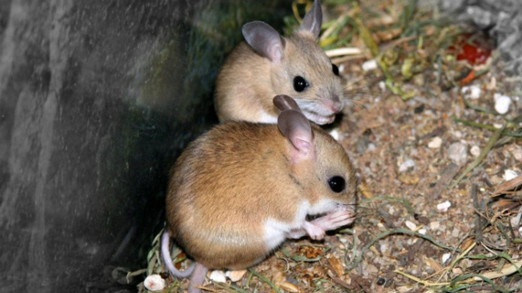 восточно австралийская мышь