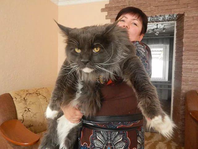 Мейн Кун: фото кошки, описание породы, внешний вид и размеры