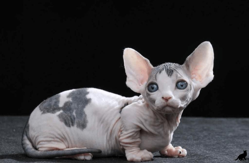 Редкие породы кошек: фото, названия, описание, особенности